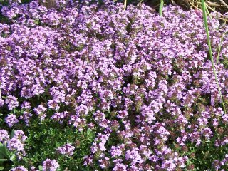 (red creeping thyme)