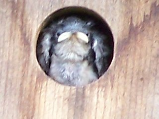 (baby tree swallow)