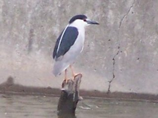 (black crowned night heron)