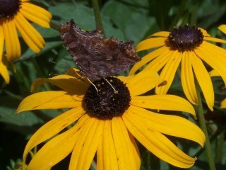 (Comma butterfly on Rudbeckia)