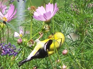 (goldfinch on cosmos)