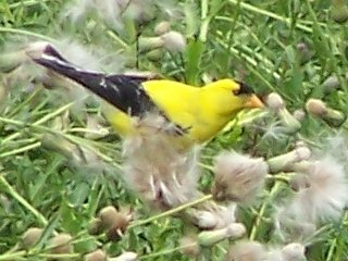 (Goldfinch)