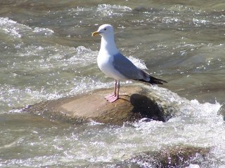 (herring gull)