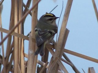 (golden crowned kinglet)