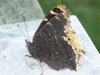 (Mourning Cloak)