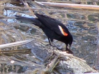 (red winged blackbird)