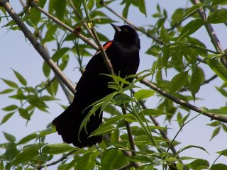 (Male red winged blackbird)
