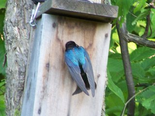 (tree swallow)