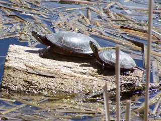 (painted turtles)